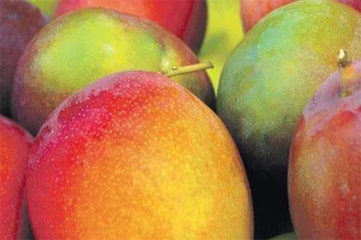 Jamaica to Exports the First Shipment of Mangoes to the US